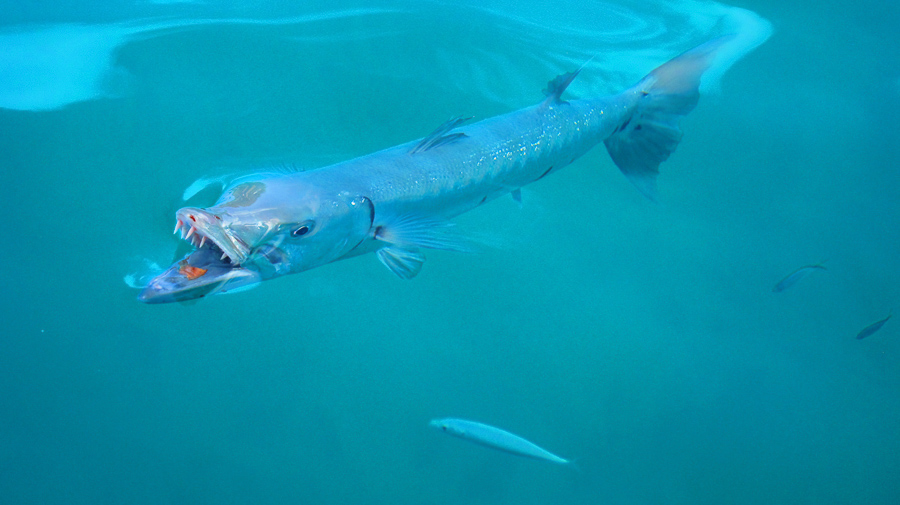 Barry the Barracuda visiting us in the BVI's.